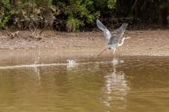 Cocoi crane running to takeoff