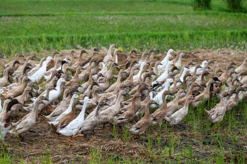 A Herd of Ducks
