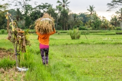 Lady in Rice Paddy