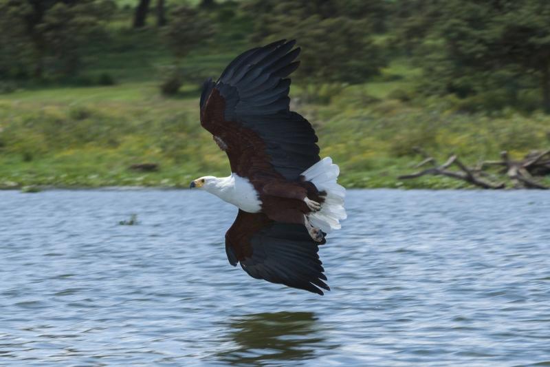 African Fish Eagle at Lake Naivasha