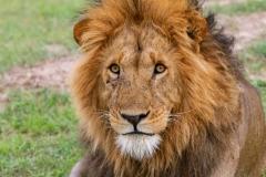 Battle Scared Lion
