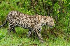 The Elusive Masai Mara Leopard