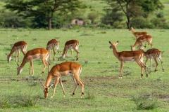 Young Impalas
