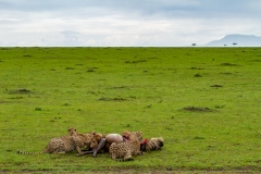 Cheetah Family Eating a Wildebeest