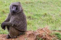 Masai Mara Baboon