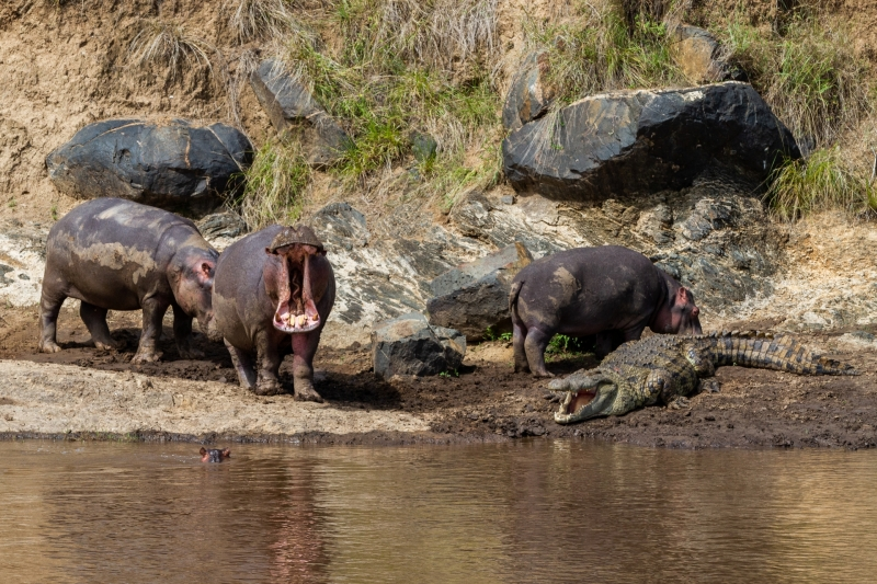 Hippos and a Crocodile