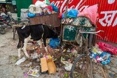 Kathmandu Street Cows