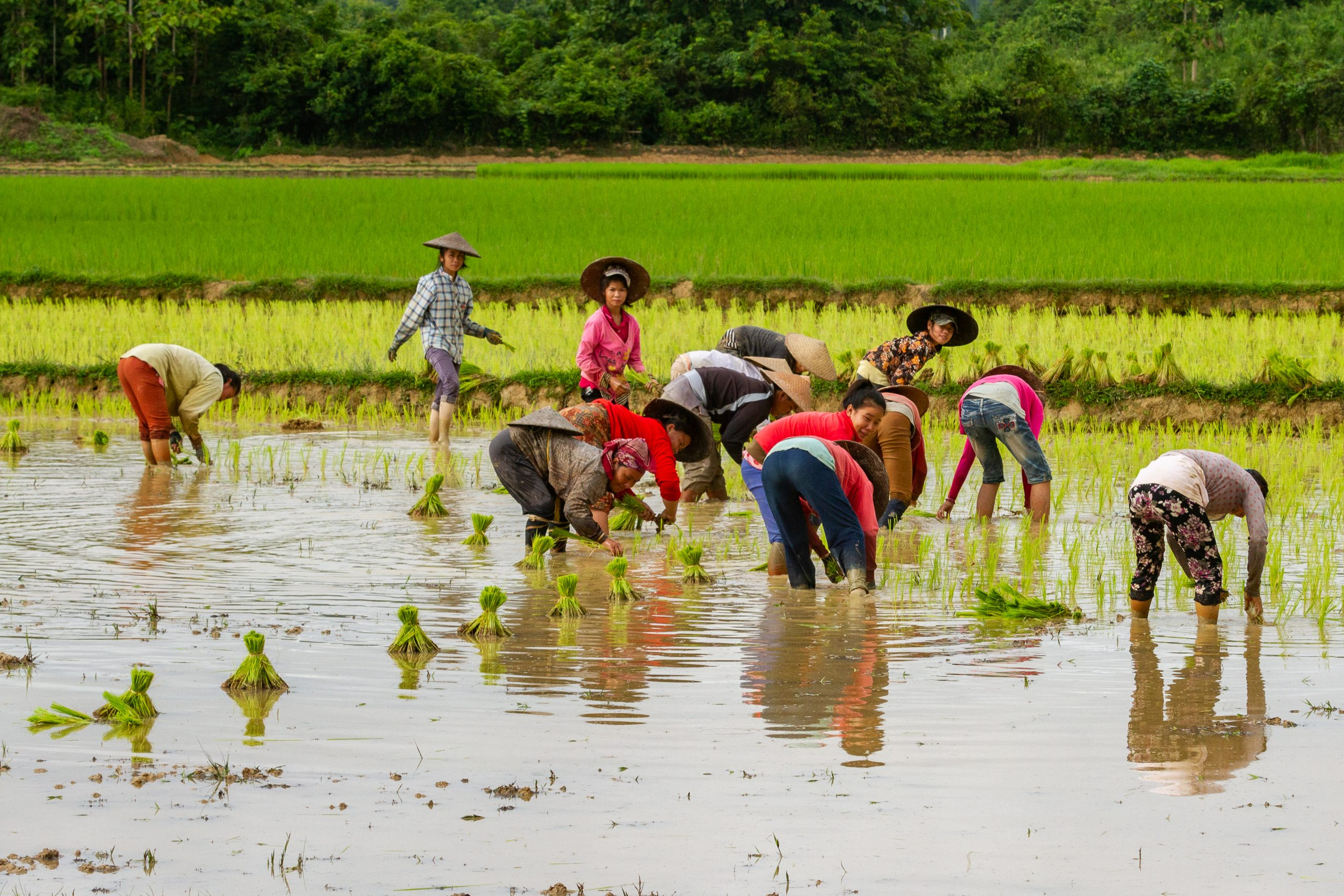 women in a rice paddy in Laos