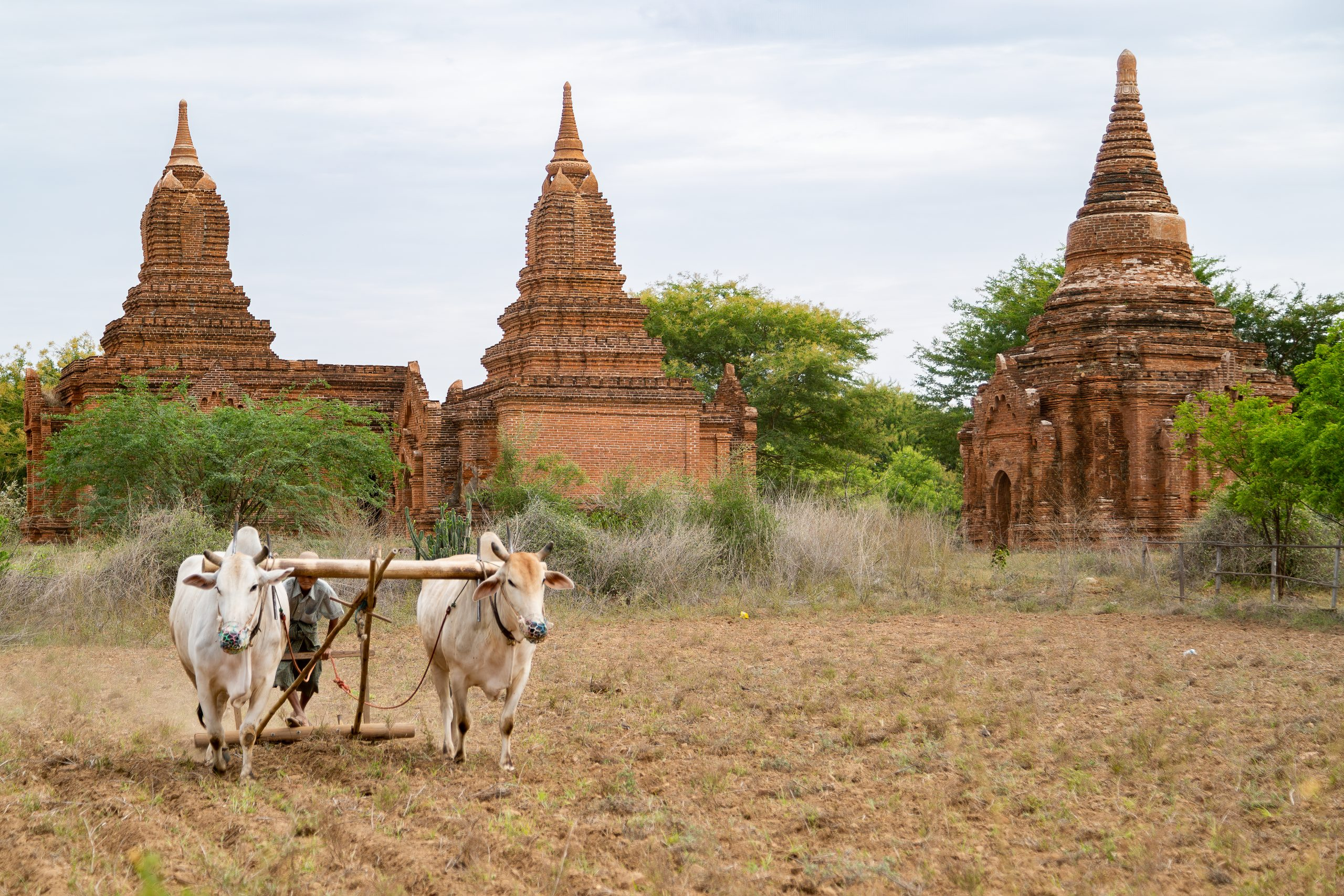 man plowing field with oxen in front of pagodas